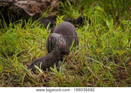 Adult American Mink (Neovison vison) Picks Up Kit - captive animals