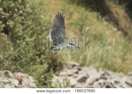 Striated heron butorides striata in flight over rural countryside scene