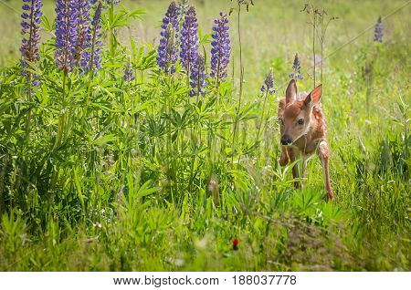 White-Tailed Deer Fawn (Odocoileus virginianus) Walks Around Lupin Patch - captive animal