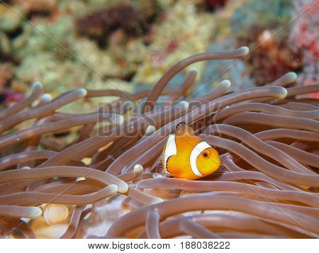 Clown Anemone Fish
