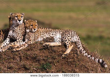 The family of cheetahs is watching. Hills of Serengeti, Africa