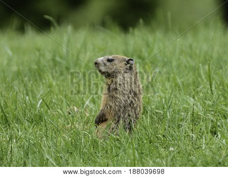 A Groundhog  (Marmota monax), also known as a Woodchuck or Whistlepig, sitting up and watching for danger, in York County Pennsylvania, USA.