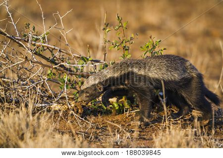 Honey badger in Kruger national park, South Africa ; Specie Mellivora capensis family of Mustelidae