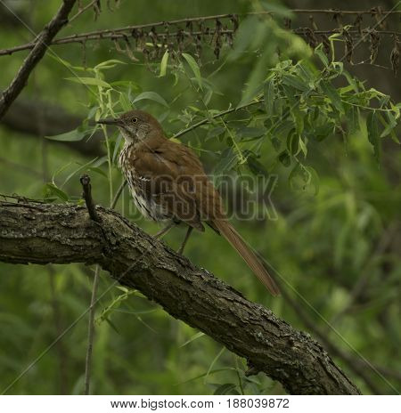 A Hermit Thrush (Catharus guttatus) perched on a branch with a leafy green background, in Carroll County Maryland, USA.