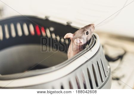 The rat is in a cage. Peeps out.