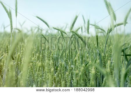Wheat, oat, rye, barley - unripe agricultural field and blue sky