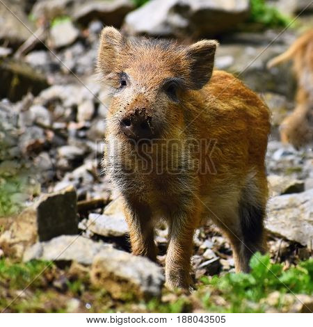 Animal - Wild Boar In The Wild. Young Bear Playing In Nature-forest. (sus Scrofa)