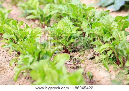 Kitchen Garden Beet Saplings. Ridges And Agriculture.