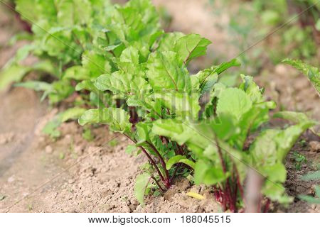 Kitchen Garden Beet Saplings. Ridges And Agriculture.