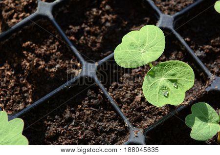 Droplets Of Water On Leaf Of A Nasturtium Seedling