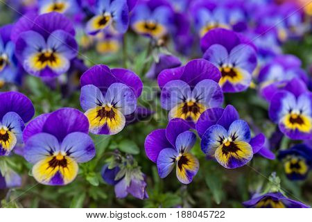 Close up of colorful violet viola flower in garden spring Italy.