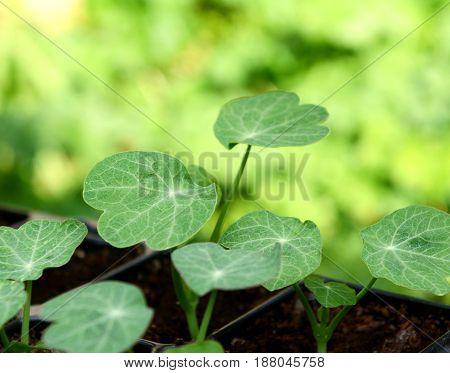 Green Leaves Of Nasturtium Seedlings