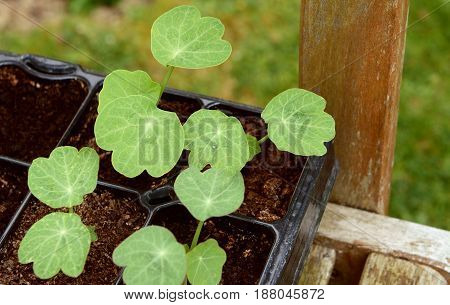 Seed Tray Of Young Nasturtium Seedlings