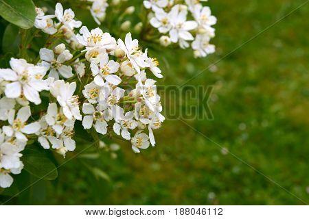 Fragrant White Choisya Flowers Against Green Grass Background