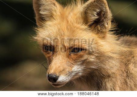 a close up portrait of a cute red fox