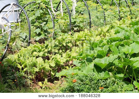 Kitchen Garden With Plants And Vegetables Herbs. Ridges And Agriculture.