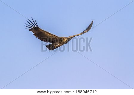 White-backed vulture in Kruger national park, South Africa ; Specie Gyps africanus family of Accipitridae