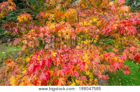 Autumn maple with red orange yellow and green leaves. The branches are spread out so that it looks like an explosion or splashes