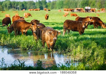The cows of a Limousin breed at the watering in summer