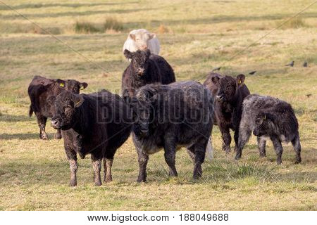 Several black cows with calves and one white cow in the background. Graze on the pasture.