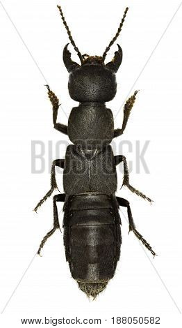 Devil's Coach Horse Beetle on white Background - Ocypus olens (O. F. Müller 1764)