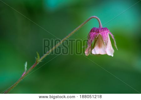 Water avens (Geum rivale) flower. Nodding pinkish flower with purple calyx on plant in the rose family (Rosaceae) growing in a British woodland