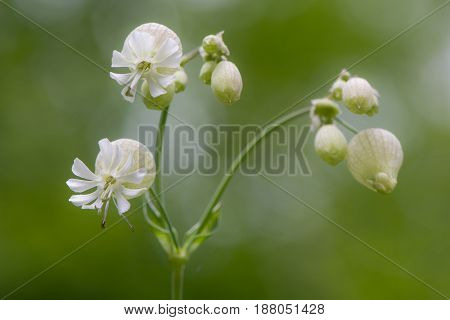 Bladder campion (Silene vulgaris) in flower. A delicate flower in the family Caryophyllaceae with calyx inflated and constricted at the mouth