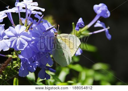 Yellow butterfly with wings open on seeds flower violet