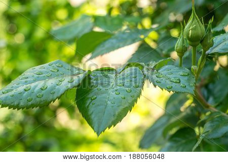 green leaf of young rose with water drops