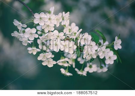 Blossoming of cherry flowers in spring time, natural seasonal floral background