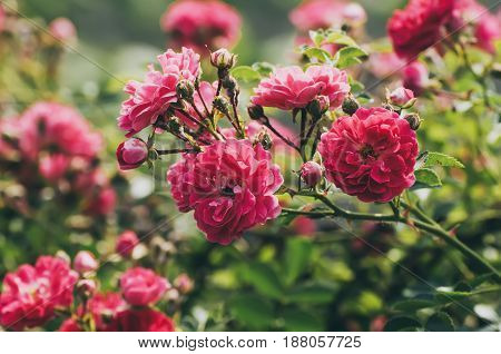 Garden with fresh red roses, floral natural hipster vintage instagram background
