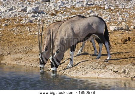 Picture of two oryx drinking at a waterhole in Etosha Park Namibia. poster