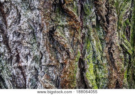 Elm (wood) - bark close-up image. Elm age 230 years