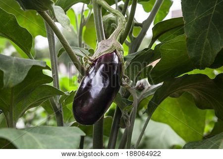 Growing the eggplants (aubergine or Solanum melongena). Ripe fruit in the vegetable garden. Close-up.