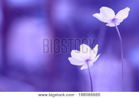 Beautiful anemone flowers on a blue background. Selective soft focus