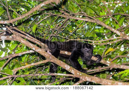 A Mantled Howler Monkey relaxing in a tree in Costa Rica