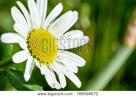 Springtime. Macro shot of a marguerite in a meadow.