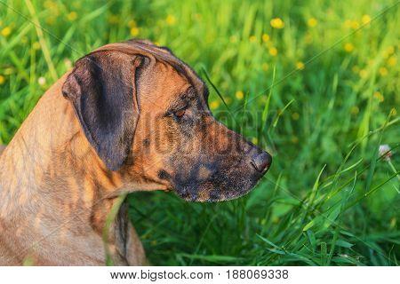 Rhodesian ridgeback hunting dog. Summer background with blurry green grass.