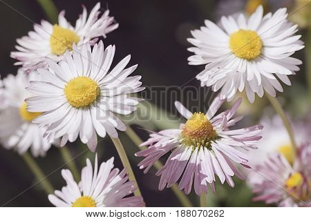 natural background with Daisy soft pink color reminiscent of chamomile