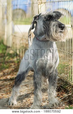 dog breed mittelschnauzer protect the area carefully looking over the fence
