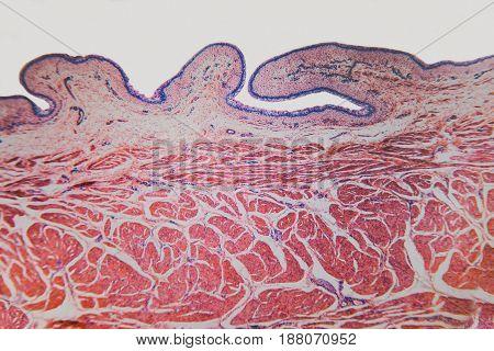 Cell Microscopic- Urinary Bladder Cat