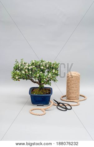 Japanese blooming bonsai in a clay pot on a gray light background with scissors for trimming indoor plants.