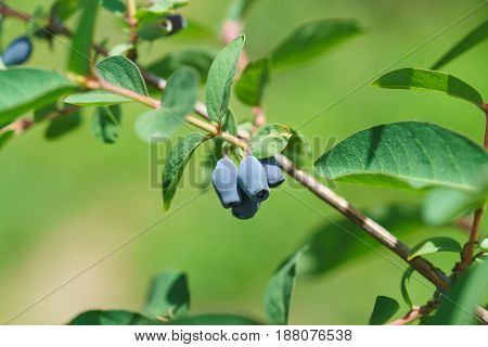 Blue berries of edible honeysuckle (lat. Lonicera caerulea) on a branch with leaves