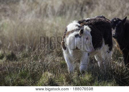 Young calf brown and white in tall grass Rural countryside image with copy space.