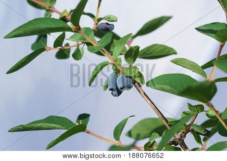 A branch of honeysuckle with ripe edible berries on blue sky background