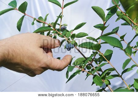 A human hand reaches for a ripe blue berries of edible honeysuckle on a branch. The harvest