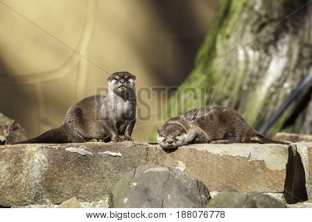 Pair of otters on a man-made riverbank weir wall. One otter is alert and the other family sibling is sleeping in the sunshine