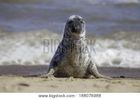 Solitary grey seal sitting up on the beach. Portrait image with seal facing camera.