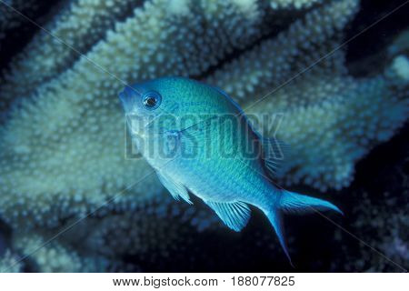 A Blue Green Chromis damselfish (Chromis viridis) near coral at the Kwajalein Atoll in the Pacific