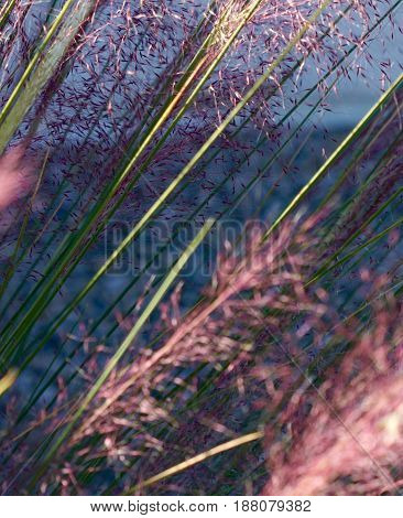 feathery stalks of grains in sunset light